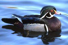 'wood duck' on skitterphoto