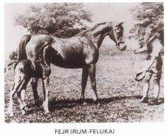 Fejr - Chestnut mare foaled 1911, bred by Crabbet Park, she was destroyed Dec 30, 1931 at 20yrs. Rijm x Feluka