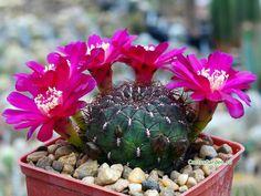 CactusGarden - Галерея - Вид категории: Sulcorebutia