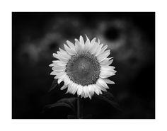 Sunflower by JPKarner