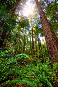 Muir Woods National Monument, Marin County, CA.  Wish I could bottle the scent to carry with me always.