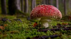 autumn colors | king of mushrooms - majestic fly agaric http://www.digitale-fotografie.ch http://www.thomas-ruf.ch