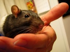 Rats bred for pets are cuddly, intelligent, bond with the owner, curious, playful, and almost always ready to play. They prefer to keep themselves...