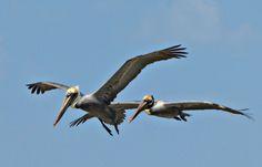 Brown Pelicans; Puerto Vallarta