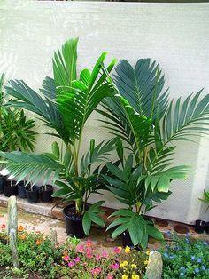 Pinanga-de-coroa – (Pinanga Coronata) - PlantaSonya - O seu blog ...