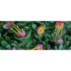 Plant-darwinia 140mm Citriodora Seaspray Tm I/N 3863568 | Bunnings Warehouse