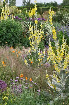 Dry Gardens at RHS Hyde Hall, Essex, England #verbascum