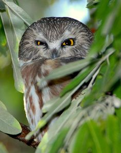 Northern Saw-whet owl. Scowling. Yessss.