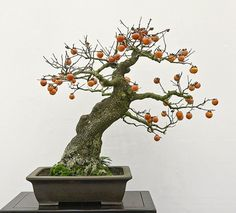 Bonsai, SubhanAllah(Allah is beyond all imperfections). Bonsai Fruit Tree, Bonsai Art, Bonsai Garden, Fruit Trees, Trees To Plant, Ficus, Ikebana, Organic Gardening, Container Gardening