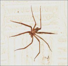 Evolución de la araña A través de las excavaciones arqueológicas se han hallado restos fósiles de arañas. Se cree que podrían ser hasta de 400 millones de años. Se cuentan con registros hay más de 50.000 especies que han sido identificadas. Hay información de las arañas que pudieron evolucionar de ancestros que son Insects, Animals, Pets, Animales, Animaux, Animal, Animais