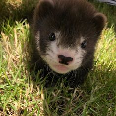 so innocent the innocence itself feels guilty Seeming so innocent the innocence itself feels guilty Informations About Seeming so innocent the innocence itself feels gui. Baby Ferrets, Funny Ferrets, Pet Ferret, Animals And Pets, Baby Animals, Cute Animals, Musk Ox, Student Memes, Baby Drawing