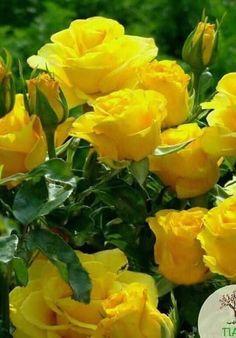 Beautiful Yellow Roses Beautiful Rose Flowers, Pretty Roses, Flowers Nature, Exotic Flowers, Beautiful Gardens, Lavender Roses, Yellow Flowers, Colorful Flowers, Tea Roses