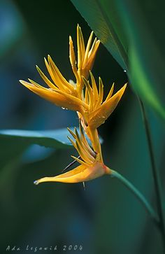Beautiful wildflower in Jamacia....another reason to go there!!