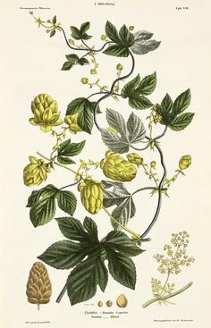 Hop Vine, from 'The Young Landsman', published Vienna, 1845