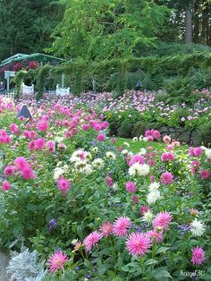 Absolutely beautiful garden full of dahlias.