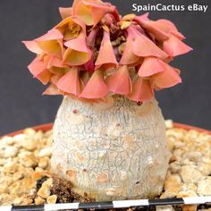 Euphorbia ankarensis BIG SIZE SEEDLING ON OWN ROOTS rare succulent plant 1/4 | eBay