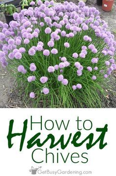 To avoid any woody parts, the best time for harvesting chives is either before…