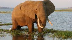 Słoń, Woda, Trawa