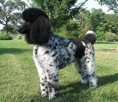 Parti Standard Poodle