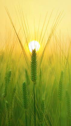 Sunny Barley Field Sun #iPhone #6 #plus #wallpaper