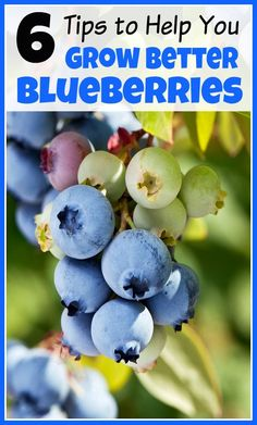 Homegrown blueberries are so tasty! If you're adding blueberry bushes to your garden this year, you need these 6 tips to help you grow better blueberries! gardening tips, vegetable gardening, growing fruit Home Vegetable Garden, Fruit Garden, Garden Trees, Edible Garden, Lawn And Garden, Herbs Garden, Garden Pond, Growing Blueberries, Growing Fruit Trees