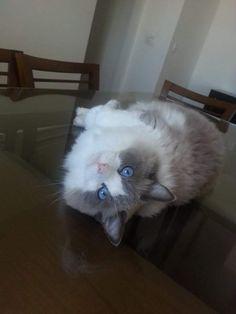 Micah Cat | Pawshake Singapore