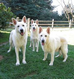 American White Shepherds Lab Mix Puppies, Dogs And Puppies, German Shepherds, German Shepherd Dogs, American Shepherd, White Swiss Shepherd, Cute Dog Photos, Snow Dogs, Schaefer