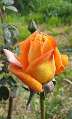 Beautiful Flowers Wallpapers, Beautiful Rose Flowers, Pretty Roses, Blossom Garden, Blossom Flower, Rainbow Roses, Orange Roses, Lavender Roses, Flower Wallpaper