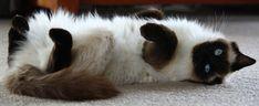 seal point ragdoll cat - Google Search