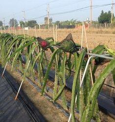 Dragon Fruit South Africa Cuttings For Sale - Planting Method Fruit Plants, Potted Plants, Como Plantar Pitaya, Cuttings, Trellis, Planting, South Africa, Vineyard, Succulents