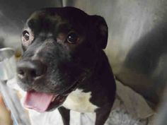 Staten Island HENNESSY – A1087834 MALE, BLACK / WHITE, PIT BULL MIX, 4 yrs OWNER…