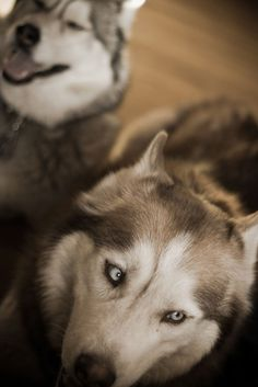 Wow does that Husky in the behind ever look like Phoenix!
