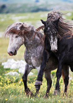 Wild Horses of West Bosnia's Cincar mountains.  It's believed the herd was formed back in the Seventies, when villagers who had been working in Western Europe returned to the region with tractors and agricultural machinery — releasing their redundant workhorses into the wild. | Vedran Vidak