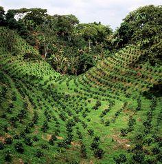 Plantaciones de café en Colombia