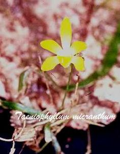 Taeniophyllum micranthum