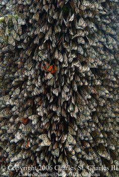 migration of monarch butterflies