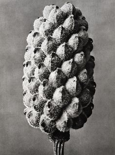 Find the latest shows, biography, and artworks for sale by Karl Blossfeldt. A teacher at the Royal Arts Museum in Berlin, Karl Blossfeldt became a celebrated… Karl Blossfeldt, History Of Photography, Macro Photography, Inspiring Photography, Photography Lessons, Abstract Photography, Botanical Art, Botanical Illustration, Atelier Theme