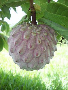 Annona / ilama Fruit