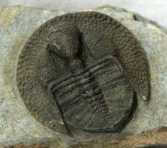"""Unusual Trilobite - Declivolithus - 1.65"""" (4.2 cm) long - 1.69"""" (4.3 cm) wide - 2.95"""" (7.5 cm) x 3.74"""" (9.5 cm) matrix - Late Ordovician : 485.4 ± 1.9 - 443.4 ± 1.5 million years ago - Ourzazate, Morocco"""