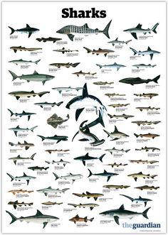 Kunst Poster, Animal Facts, Great White Shark, Marine Biology, Ocean Creatures, Shark Week, Ocean Life, Marine Life, Beautiful Creatures