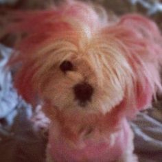 Kool aid pink dog hair dye. My dog would hate me for life--but I might not be able to resist come Halloween. : )