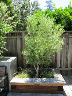 This raised wood planter box doubles as seating, while a non-fruiting 'Swan Hill' Olive tree provides shade.