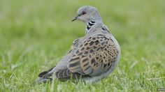 Farmland birds show rapid decline - Farmland birds are at their lowest levels since records began, according to government figures. Numbers of birds such as grey partridge, turtle dove and the starling are down more than 85% since 1970s.