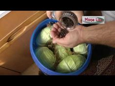 Varza murata la butoi 2016 - YouTube Romanian Food, Preserves, Food Videos, Pickles, Cabbage, Entertainment, Vegetables, Drinks, Youtube