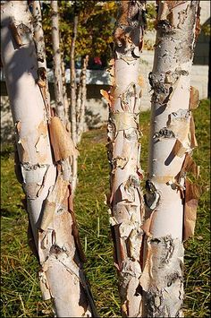birch river mature dating site As the name suggests, river birches tolerate and require a moist site for  while  the tree is young, giving way to white, chalky bark that doesn't peel once mature.