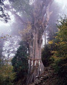 神代杉 玉置神社