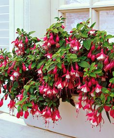 Fuchsia 'Lady Thumb'
