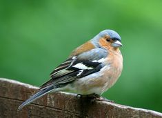 09/05/2015 A few more chaffinches about this year at the feeder
