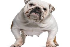 Bulldogs bitten by its owner!  Bulldog morso dalla sua proprietaria