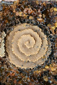 Fractal spiral forms in nature - Australian Stingless Native Bees - Spiral honey comb. Structures proches de capsides virales.
